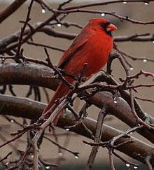 Cardinal_in_the_Rain